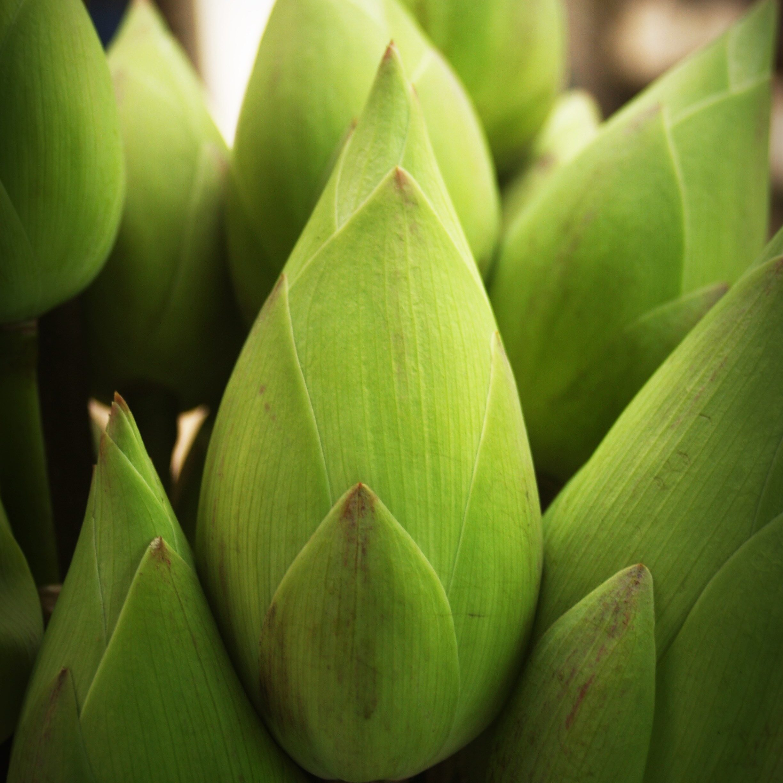 lotus-1550950